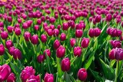 郁金香海在庭院里 免版税库存照片
