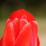 郁金香特写镜头的红色瓣 免版税库存照片