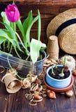 郁金香电灯泡、盆的新芽、柳条帽子、风信花和工具 免版税库存照片