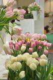 郁金香白色和桃红色在一张白色木桌上的一个白色背景身分 库存图片