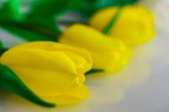 郁金香白色和黄色用不同的组合 免版税图库摄影