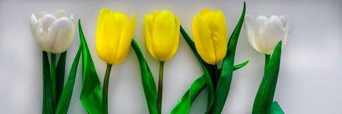 郁金香白色和黄色用不同的组合 库存照片