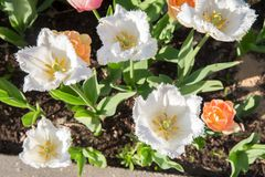 郁金香白色在公园春天 库存图片