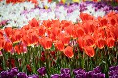 郁金香的五颜六色的晴朗的领域 春天季节性花卉背景 图库摄影