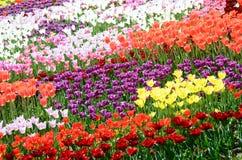郁金香的五颜六色的晴朗的领域 春天季节性花卉背景 库存图片