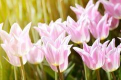 郁金香的五颜六色的晴朗的领域 春天季节性花卉背景 免版税图库摄影