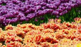 郁金香的五颜六色的晴朗的领域 春天季节性花卉背景 免版税库存图片