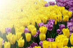 郁金香的五颜六色的晴朗的领域 春天季节性花卉背景 库存照片