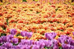 郁金香的五颜六色的晴朗的领域 春天季节性花卉背景 免版税库存照片