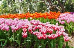 郁金香的五颜六色的领域 免版税库存图片