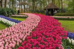 郁金香的众多的公共可访问的领域在绽放的在荷兰春天Keukenhof庭院里 库存图片