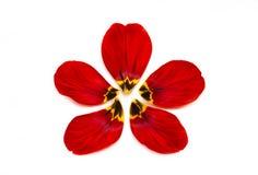 郁金香的各自的花瓣在白色背景的 免版税库存图片