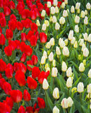 郁金香的域 开花郁金香 红色和空白郁金香 背景 图库摄影