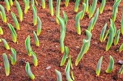郁金香的年轻的绿色芽 免版税库存图片