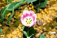 郁金香的开花的芽在宏观摄影的 库存图片