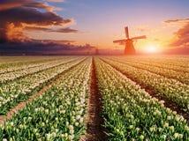 郁金香的种植园在日落的 荷兰 库存图片