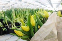 郁金香的种植园自温室 花农场 库存图片