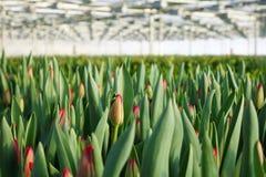 郁金香的种植园自温室 花农场 图库摄影