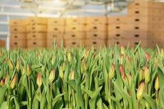 郁金香的种植园自温室 花农场 免版税图库摄影