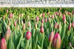 郁金香的种植园自温室 花农场 库存照片
