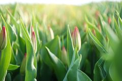 郁金香的种植园自温室 花农场 免版税库存图片