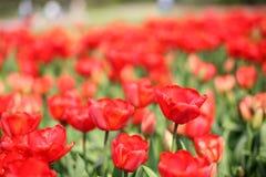 郁金香的种植园 库存图片