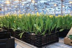 郁金香的种植园 免版税图库摄影