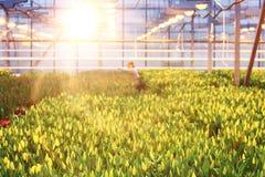 郁金香的种植园 免版税库存照片