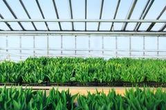 郁金香的耕种在温室透视的 库存照片