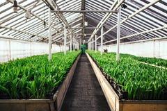 郁金香的耕种在温室透视的 免版税库存照片