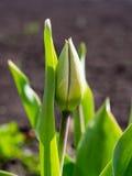 郁金香的芽在庭院里在早期的春天 免版税库存图片
