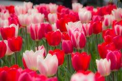 郁金香的领域在春天。 免版税库存照片