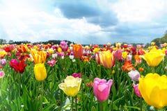 郁金香的领域在春天在天空蔚蓝下 免版税库存照片