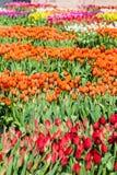 郁金香的领域-与Yelllow口音的桔子,黄色,紫色, 库存图片