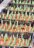 郁金香的年轻的绿色芽。 库存照片