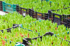 郁金香的年轻的绿色芽。 免版税库存照片