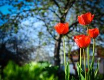 郁金香绽放在庭院里 晴朗的日 库存图片