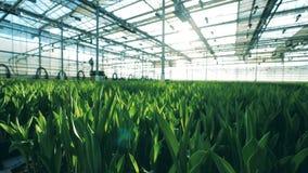 郁金香绿色叶子在花床上在玻璃温室里面 股票录像