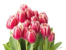 郁金香美丽的嫩花束  库存图片