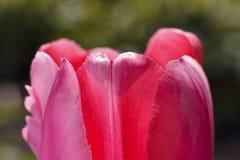 郁金香美丽的明亮的花  免版税图库摄影