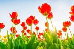 郁金香美丽的花束在春季的 库存照片