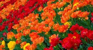 郁金香花五颜六色的自然背景  免版税库存图片