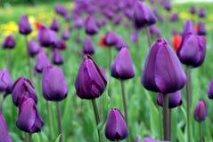 郁金香花作为爱的标志 图库摄影