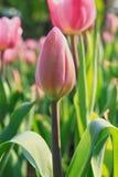 郁金香花和绿色叶子 图库摄影