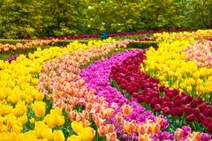 郁金香花园在春天背景或样式中 库存图片