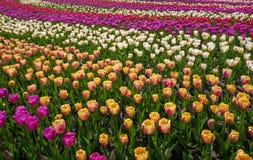 郁金香花园在春天背景或样式中 免版税库存图片
