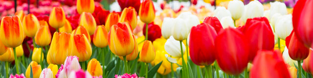郁金香花圃,红色,黄色,白色全景 库存图片