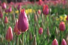 郁金香花在不同颜色的在庭院里 库存图片