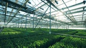 郁金香花在地面增长自一间现代温室 股票录像