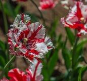 郁金香花在城市公园 图库摄影